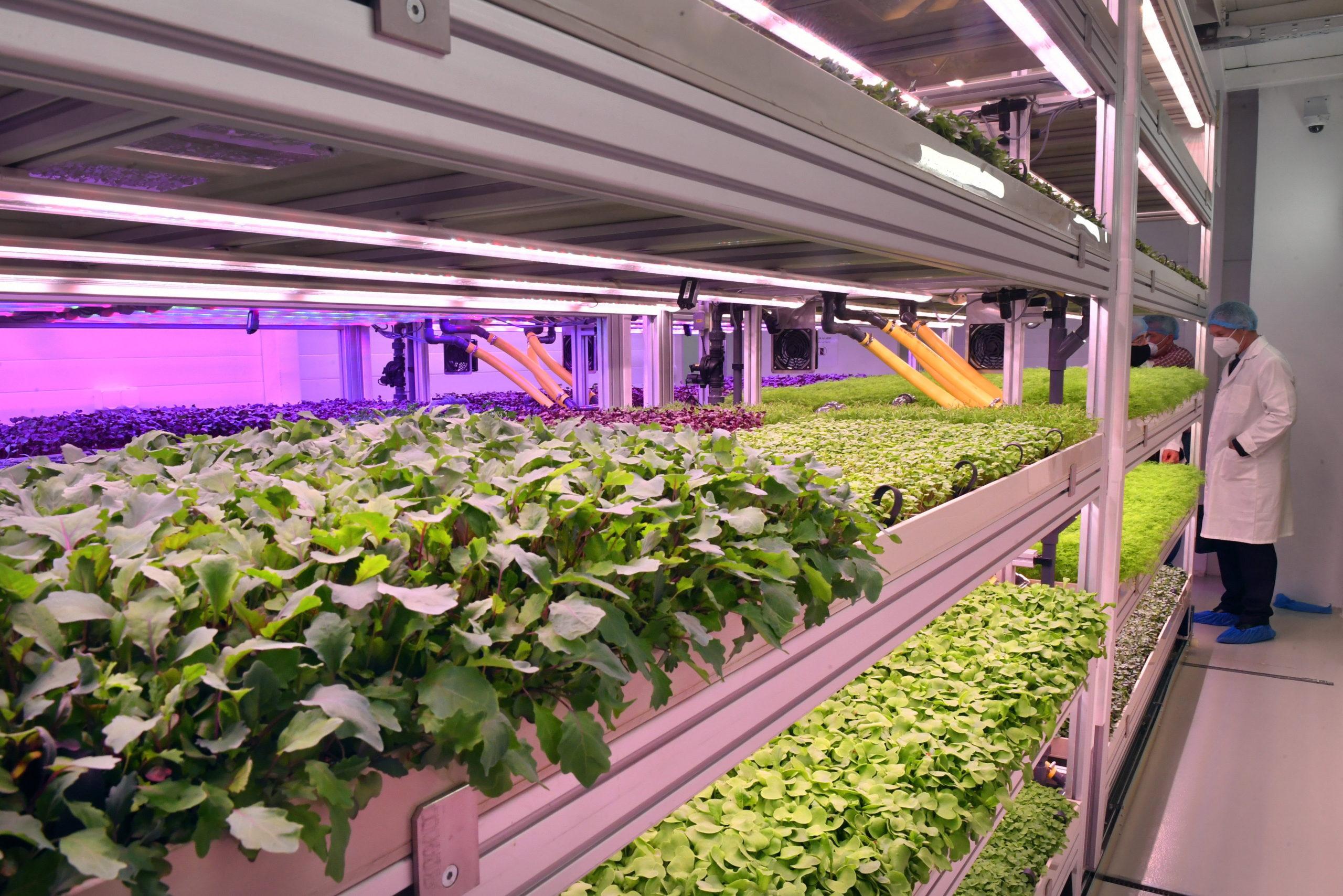 Zöldségnövények fejlõdnek mesterséges fényviszonyok között a Tungsram Group vertikális farmján az avatása napján a Tungsram budapesti központjában 2021. május 5-én.
