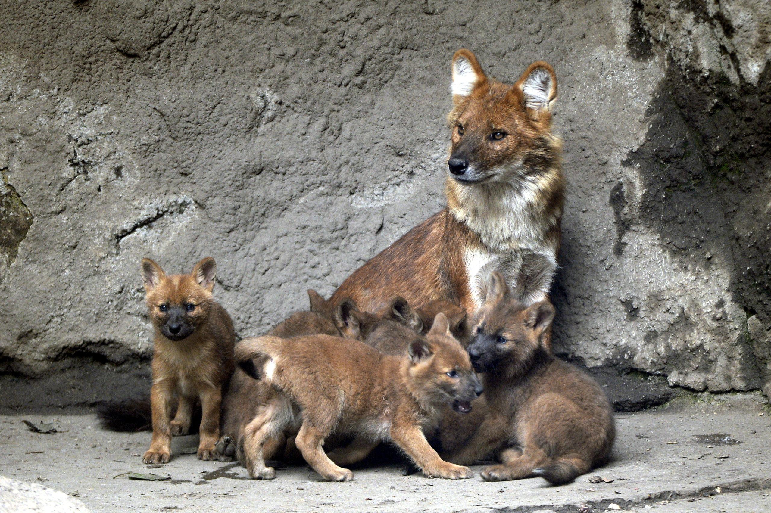 Ázsiai vadkutyák születtek a fõvárosi állatkertben
